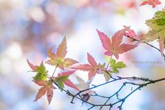 Colorful Momiji (littlekiss☆) Tags: momiji maple mapleleaves colorful bokeh vancouver vandusenbotanicalgarden littlekissphotography
