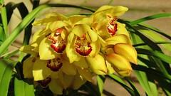 orquídea (jakza - Jaque Zattera) Tags: serragaúcha flor ramo orquídea