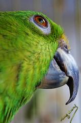 parrot (ingcuevas) Tags: loro parrot verde green ave bird fauna ojo plumas pico mirada look gaze detail zoom closeup eyelashes beak eye cute natural pet mascota animal feathers ngc