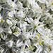 Onion Flowers (bryan_rittenberry) Tags: flower onion