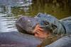 Hyppo, being a hyppo... (GearUp Photography) Tags: africa hyppo safari ngorongoro amazing nature xt2 xf100400 animal wildlife incredible tarangire animals tanzania manyara hyppopothamus serengeti fujifilm