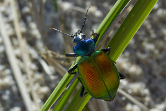 Calosoma on Beach Grass (brucetopher) Tags: beach beetle shiny shimmer colorful blue green orange iridescent metallic bug insect six legs sixlegs crawl big sand gypsymoth caterpillar solution goodbug