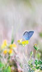 Little blue butterfly (Bokeh painting ) (Inka56) Tags: bokeh bokehlicious butterfly wildflowers meadow bokehpainting 7dwf closeup jupiter21m hbw