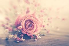 Sweet rose (Ro Cafe) Tags: lensbaby paniculata rose selectivefocus softfocus stilllife sweet50 sweet50macro blur flowers pastelcolours pink soft beautiful nikond600