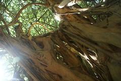 DSC03741 (washuugenius) Tags: photo hawaii hilo tropical flora wailukuriverstatepark tree banyantree
