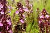 Sumpfblüten im Südermoor - Sumpf-Läusekraut (Pedicularis palustris); Norderstapel, Stapelholm (4)