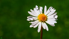 Daisy - 3258 (YᗩSᗰIᘉᗴ HᗴᘉS +6 500 000 thx❀) Tags: daisy flower drop drops macro nature rain green vert fleur flora hensyasmine