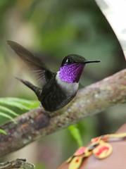 Purple-throated Woodstar (Wade Strickland) Tags: calliphloxmitchellii woodstar ecuador bird hummingbird mindo quito purplethroatedwoodstar