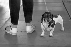 dogs stories - Rimini 2017 (Antonio Martorella) Tags: antomarto ntomarto italia italy cane cani dachshund dog dogs dogsstories erwitt blackandwhite bw biancoenero street citylife