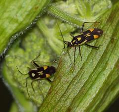 2017_06_0431 (petermit2) Tags: miridaegrypocorisstysi grypocorisstysi miridae grypocoris plantbug adwickwashlands adwickupondearne adwick dearnevalley doncaster southyorkshire yorkshire rspb