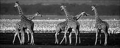 Girafe (Labat Photographe) Tags: girafe faune afrique troupeau mammifëre kenya afriquedelest noiretblanc groupe