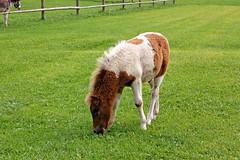 Aschau am Chiemsee - Café Pauli (2) - Streichel-Zoo (Pixelteufel) Tags: aschauamchiemsee bayern bavaria tourismus zoo tierpark pferd fohlen weide weideland viehweide rasen wiese