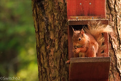 Schotland 2017-125 (Switch62) Tags: scotland 2017 aberfoyle dukes pass visitor centre red squirrel