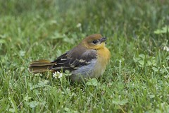 Baby Oriole (a56jewell) Tags: a56jewell