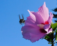 Away to Another Flower (Chuck Wilkins) Tags: nature bee flower insect plant summer sky bluesky pollen pollination