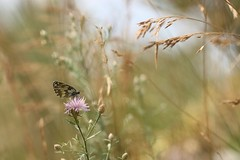 Maga. (SimonaPolp) Tags: butterfly bug insect animal june summer grass bokeh light day sunlight macro wings sky wind