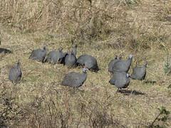 P1150909 Zimbabwe (23) (archaeologist_d) Tags: zimbabwe stanleylivingstonesafarilodge guineafowl africa southernafrica safari