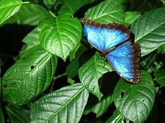 Morpho_2017 (Surfishrink) Tags: honduras panacam morpho blue butterfly centralamerica