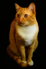 Chewie (carloscamargo4) Tags: pet cutte orange laranja lindo gatos cat
