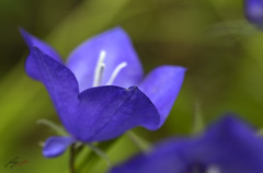 bellflower (jecate) Tags: bellflower campanula flower bloom blossom plant macro naturescenes harebell scotchbluebell