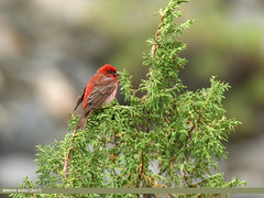 Common Rosefinch (Carpodacus erythrinus) (gilgit2) Tags: avifauna birds canon canoneos7dmarkii category commonrosefinchcarpodacuserythrinus fauna feathers geotagged gilgitbaltistan hunza imranshah location pakistan shisparether species tags tamron tamronsp150600mmf563divcusd wildlife wings gilgit2 carpodacuserythrinus