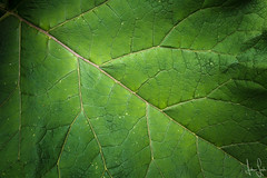 Green (Andreas Lesch) Tags: blatt grün green struktur textur natur makro macro makrofotografie naturfo naturfotografie nahaufnahme laub