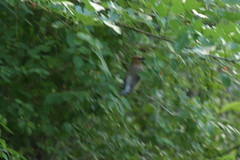 artist's reference blurry Cedar Waxwing (turn off your computer and go outside) Tags: 2017 albanywildlifearea cedarwaxwing greencounty june sugarriverstatetrail wi wisconsin bird blurred blurry critter latespring nature niceweather outdoors partlycloudy