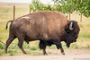 American Bison (Uncharted Sights) Tags: rocky mountain arsenal national wildlife refuge colorad denver nature outdoors explore adventure discover canon 80d sigma 150500 bison buffalo