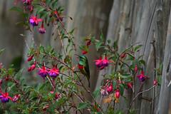 Eastern double-collared sunbird (supersky77) Tags: easterndoublecollaredsunbird cinnyrismediocris sunbird bird uccello samich kenya rift