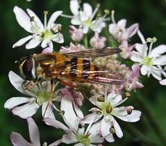 Paused (Bricheno) Tags: schottland szkocja scotland scozia escocia escòcia écosse scoția 蘇格蘭 स्कॉटलैंड σκωτία bricheno renfrew insect bug hoverfly macro
