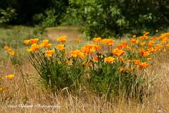 Californian Poppy (Anna Calvert Photography) Tags: californianpoppy yellowflowers flowers plants nature floral