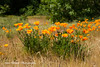 Californian Poppy (Anna Calvert Photography) Tags: californianpoppy yellowflowers flowers plants nature floral