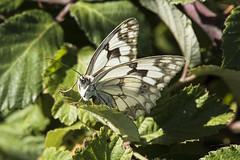 Échiquier ibérique (Melanargia lachesis) (mhyrdin) Tags: butterflies papillons rhopalocères laclape aude