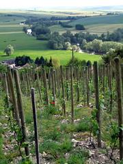 VIGNE BIO sur les hauteurs d'Ailly (55) (dominique jacquier) Tags: vigne bio herbes coquelicots ailly meuse