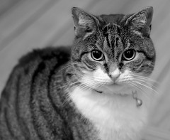 cody (ChicqueeCat) Tags: animals cat black white nikon portrait d3300