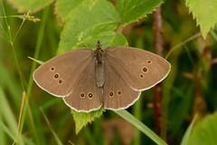 Ringlet (Martin F Hughes) Tags: butterfly devon dartmoor martin hughes canon 7d wildlife ringlet