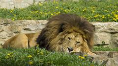Simba dans son jardin (melusine42) Tags: lion roi king savane sauvage afrique croc griffe simba crinière félin prédateur