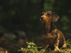 Bonnie (VintageLensLover) Tags: hund dackel rauhhaardackel bonnie dog wald natur outdoor bokeh schärfentiefe olympus zuiko75mm18 omd m43