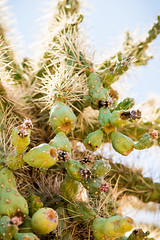 Desert Tree Fruit (Cole Eaton Photography) Tags: tree branch fruit bokeh park mountain desert wood cactus prick prickly spike spikey cacti succulent summer warmth warm earth natural nature peaceful organic vegetables eat