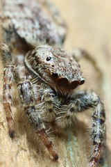 Marpissa muscosa (Haentjens Raphaël - Macropixels) Tags: sauteuse araignée saltique salticidae araneae spider jumpingspider