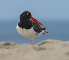 Oystercatcher (swmartz) Tags: nikon nature newjersey wildlife outdoors birds shorebird beach belmar july 2017