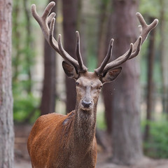 cerf-0008 (philph0t0) Tags: cerfélaphe cervuselaphus cerf élaphe cervus elaphus stag reddeer red deer 12cors