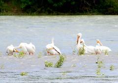 American White Pelican (casparc) Tags: 2017 inglewoodbirdsanctuary bird pelican americanwhitepelican