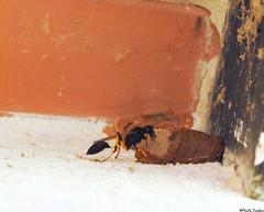 Potter wasp (Geminiature Nature+Landscape Photography Mallorca) Tags: avispasalfareras avispas wespen leemwespen mallorca vespidae potterwasp masonwasp nido nest building construction bouwen