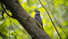 Downy Woodpecker (Kurayba) Tags: edmonton alberta canada ca whitemud park ravine creek pentax k1 faj 75300 f4558 smcpfaj75300mmf4558al downy woodpecker bird clinging tree trunk bokeh wildlife