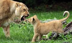 asiatic lion Planckendael JN6A0969 (joankok) Tags: lion leeuw asia animal asiaticlion azie mammal planckendael planckendaal pantheraleopersica aziatischeleeuw zoogdier dier