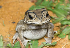 Asian Common Toad (Duttaphrynus melanostictus) (Anthony Kei C) Tags: asiancommontoad duttaphrynusmelanostictus bufomelanostictus bufonidae