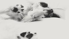 Sunday Afternoon (MDawny72) Tags: blackandwhite soft tranquil trust animal itsadogslife mustlovedogs mydog dog relaxing sweet pet july 2017 myphotography myfavoritethings mylove sunday lazy lifestyle light lightandshadows