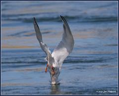 The Dive 4of4 4757 (maguire33@verizon.net) Tags: bif bolsachica bolsachicaecologicalreserve bird tern wetlands wildlife huntingtonbeach california unitedstates us