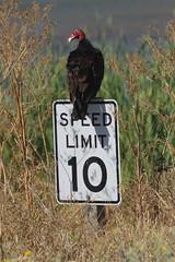Speed Kills... Hopefully! (Gunn Shots (Catching up)) Tags: vulture turkeyvulture speedlimit speedkills funny vultureculture humor